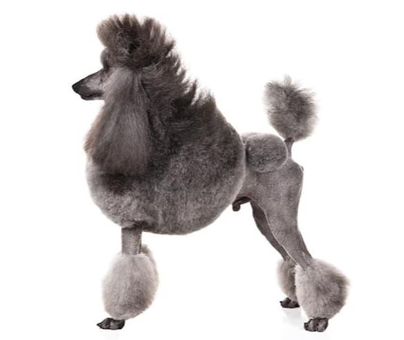 Características da Raça de Cachorro Poodle